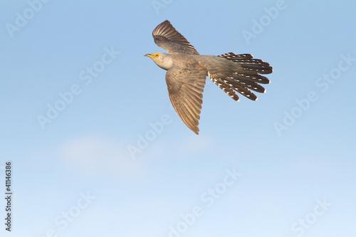 Common Cuckoo in flight / Cuculus canorus ( European Cuckoo)
