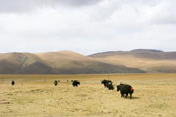 チベット高原のヤク