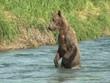 fischende Bärin wildlife Katmai/Alaska