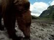 Großer Braunbär schnüffelt zur Kamera wildlife Katmai/Alaska