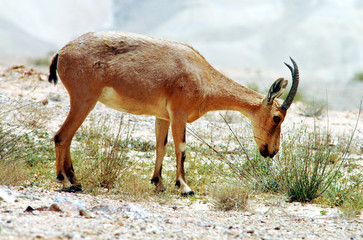 Wildlife Photos - Ibex eats plants in the desert
