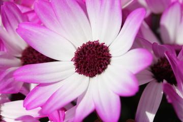 Eine lila weisse Bornholmmargerite