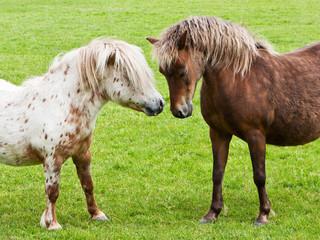 Zwei kleine Pferde begegnen sich auf einem grünen Rasen