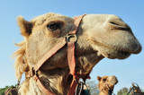 WIldlife Photos - Arabian Camel
