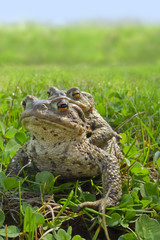 two frogs - european toad (couple)