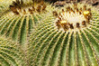 Golden Barrel Cactus in Desert