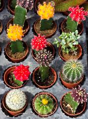 Variety of cactus