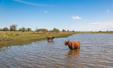 Highland cows wading in water