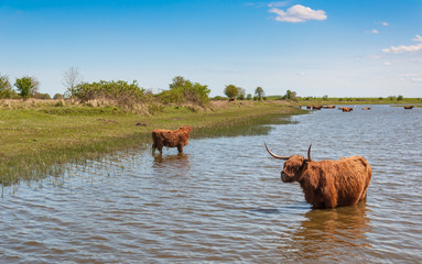 Highland cows wading in a creek