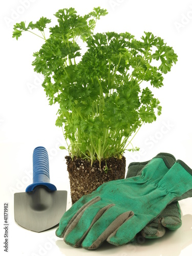 Parsley transplantation