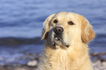 close-up of golden retriever by the sea