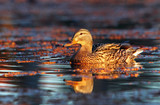 Female mallard duck swimming in the water amongst vegetation