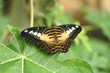 Butterfly, clipper, Parthenos sylvia