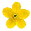 Marsh Marigold Yellow Flower Isolated on White