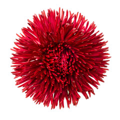Red Daisy Flower Head Isolated on White