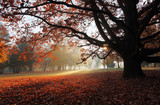 Fototapety Old beech tree in autumnal park