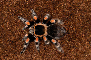Maxican red knee tarantula