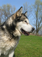 Alaskan Malamute for trees on the grass
