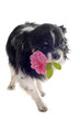 chihuahua et rose