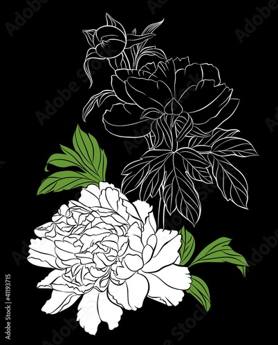 white peony on black background