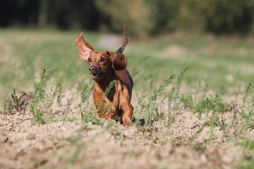 teckel running on the field