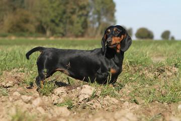 beautiful teckel - Schön dachshund