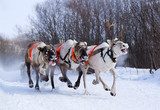 Team of rein-deers skims over the snow path.