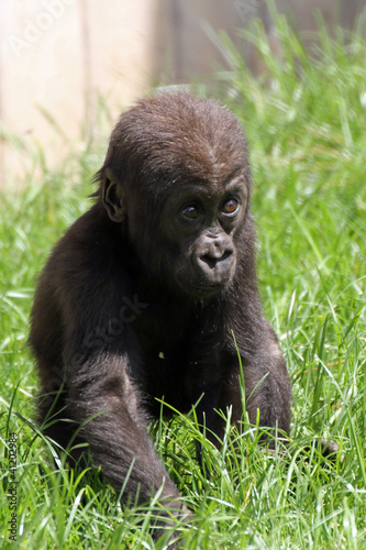 1205001 - Gorillababy
