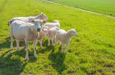 Sheep family on a Dutch dike