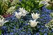 weiße Tulpen mit Vergissmeinnicht