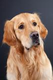 Fototapeta piękny - brązowy - Zwierzę domowe