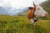 Organic milk cow in alpine meadow