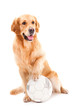 golden retriever dog playing with ball on isolated  white