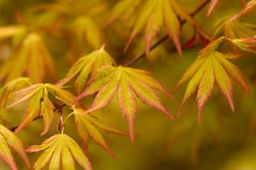 japanese acer leaves