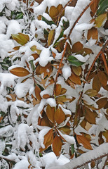 magnolia leafs under snow background