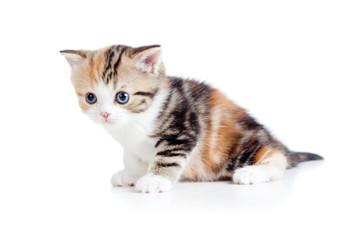 Scottish kitten sitting isolated