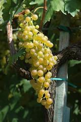 Uva bianca, vendemmia