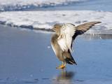 Gadwall Drake Stretching His Wings poster