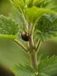 Petit scarabée sur une tige d'ortie