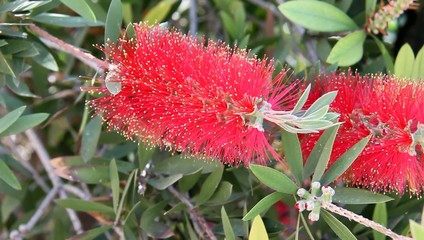Callistemon flowers