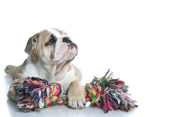 Playful english bulldog puppy with a toy rope