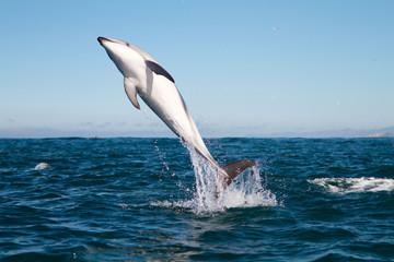 Dusky dolphin jumping