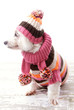 Dog wearing winter sweater beanie scarf