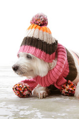 Dog wearing winter woollen clothing