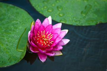 ninfee fiori 1418