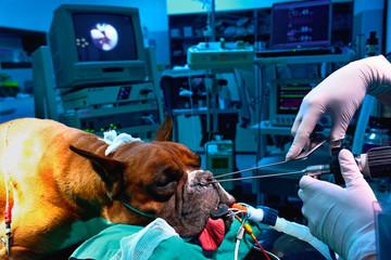 veterinario operazione cane