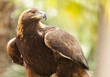 California Golden Eagle