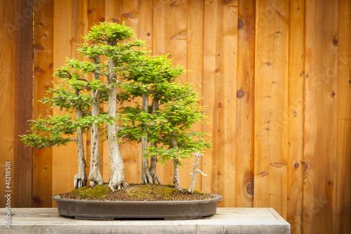 Fotobehang Bonsai Bald Cypress Bonsai Tree Forest Against Wood Fence