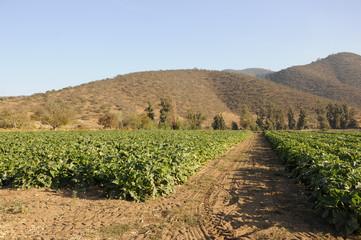Plantación de zapallo. Chile