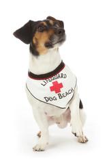 chien Jack Russel portant bandana gardien de plage